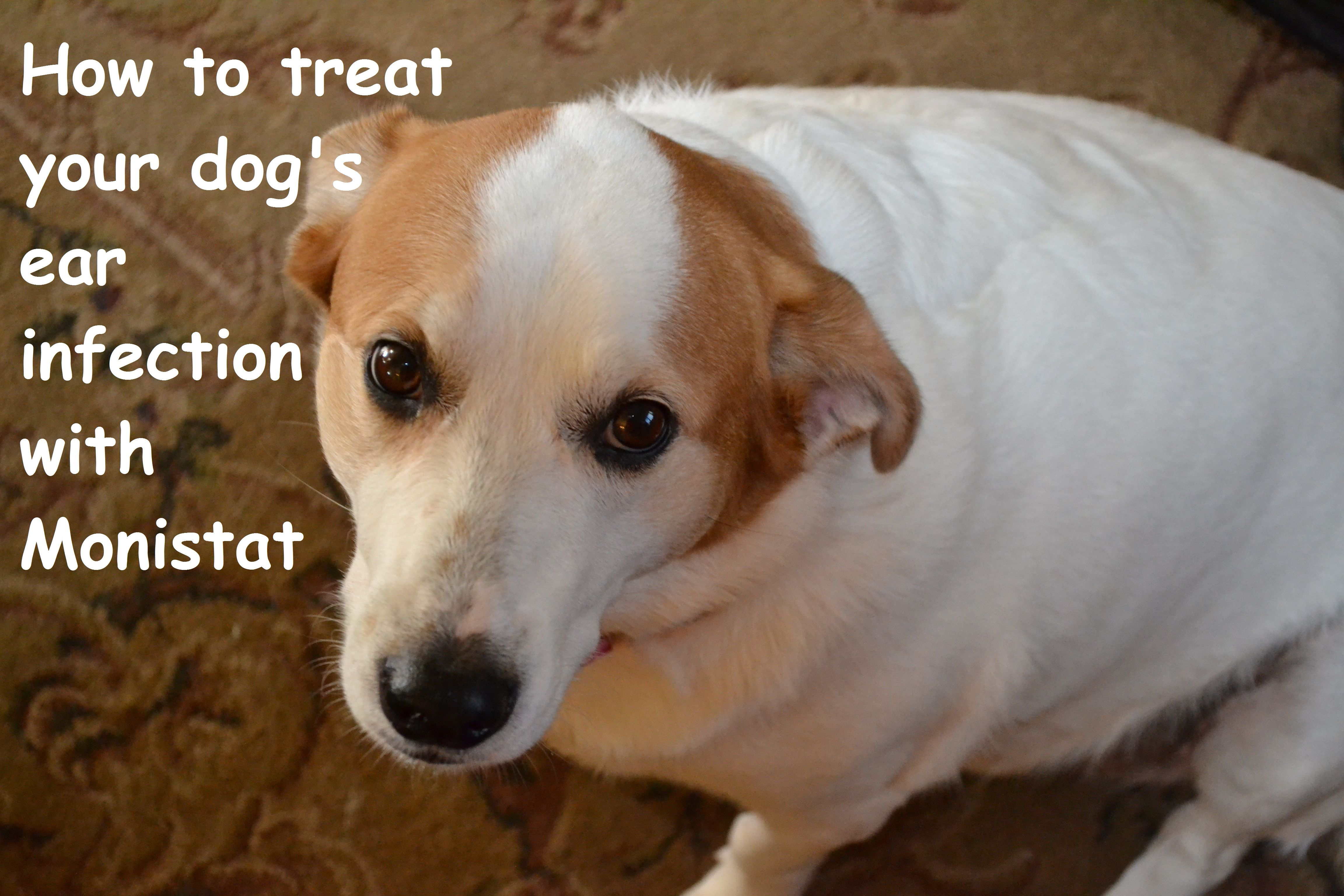 Can Monistat Treat Your Dog S Ear Infection Dogs Ears Infection