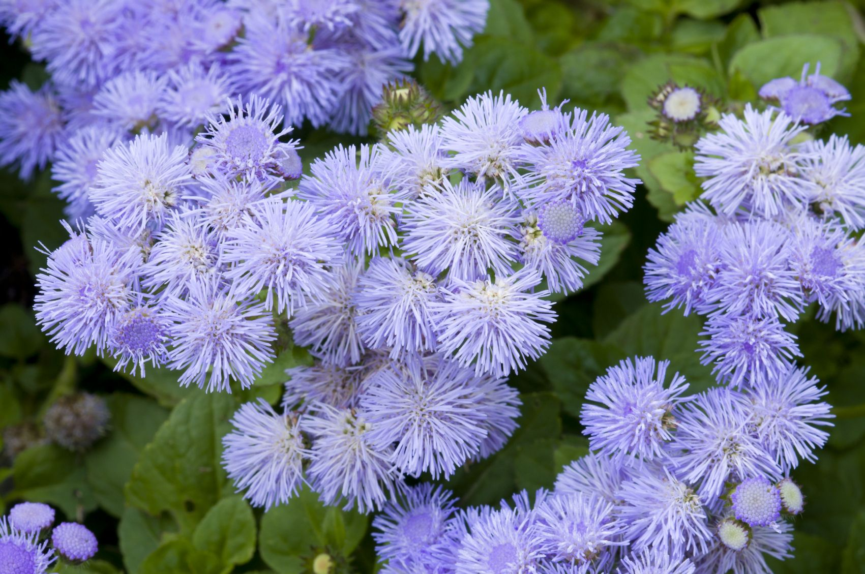 Growing Ageratum Flower How To Plant Ageratum Blue Flowers Garden Mosquito Repelling Plants Plants