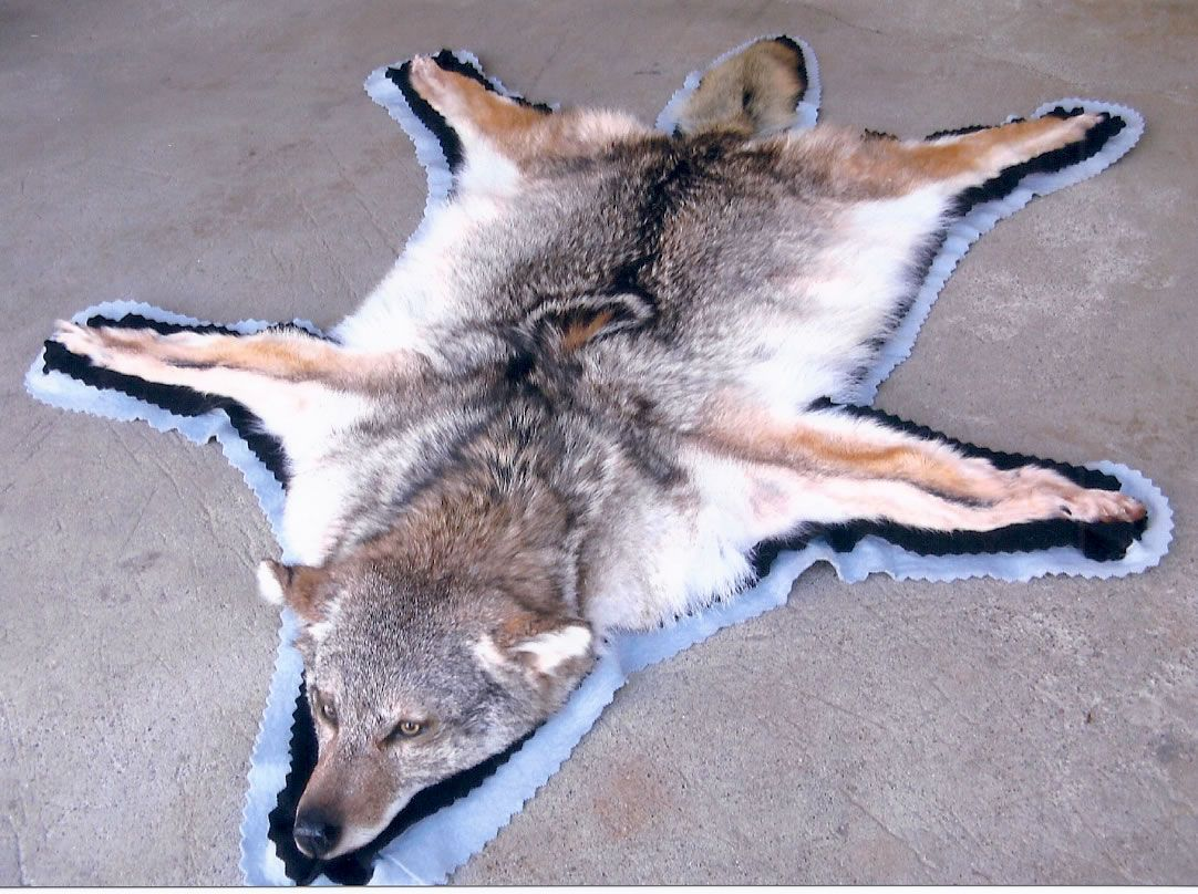 afef0c1cc1 Coyote Rug...yep about to have one of these bad boys after tonight ...