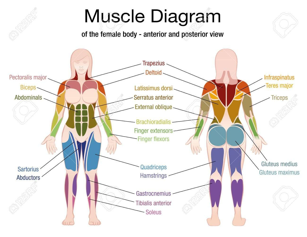Female Muscles Diagram With Images