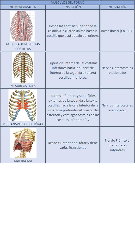 20. [ANATOMÍA] MÚSCULOS DE LA PARED TORÁCICA | Músculos, La caja ...