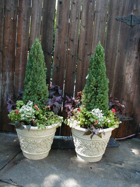 Dwarf Alberta Spruce Container Outdoors Pinterest