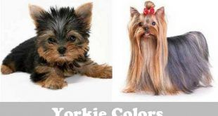 Yorkshire Terrier Price Range How Much Does A Yorkie Cost Yorkshire Terrier Yorkie Yorkie Puppy