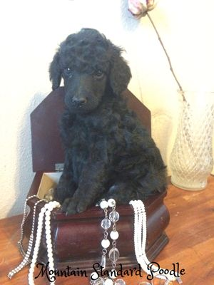 Mountain Standard Poodle High Quality Standard Poodle Puppies For