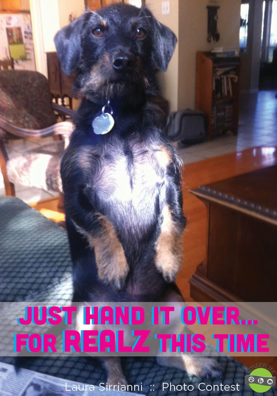 Funny Dog Pictures Dachshund Like Us On Facebook Wondercide
