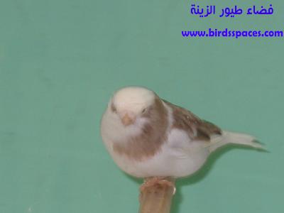 كناري الجلوستر Animals Bird
