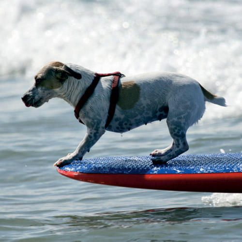 Fetching Waves Coastal Living Jack Russell Dog Lovers Jack Russell Terrier