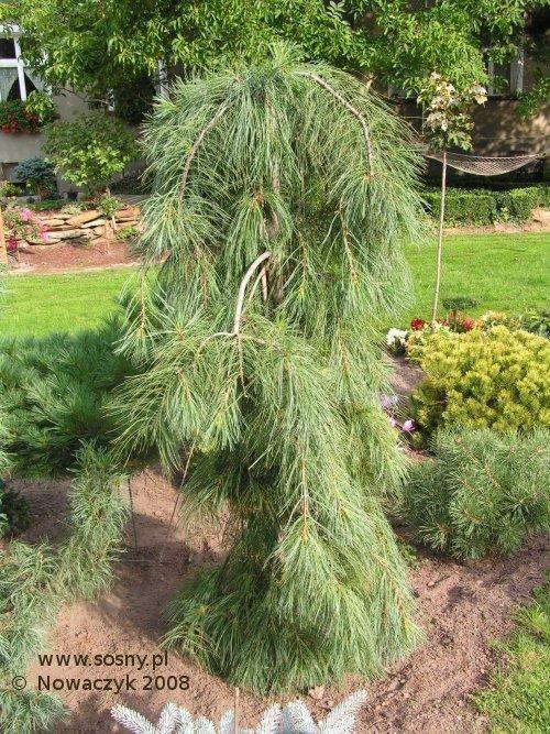 Weeping White Pine Gardening Pine Tree Landscape Shrubs