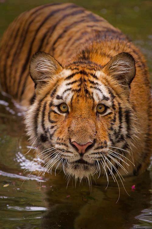 Tiger Safari, India
