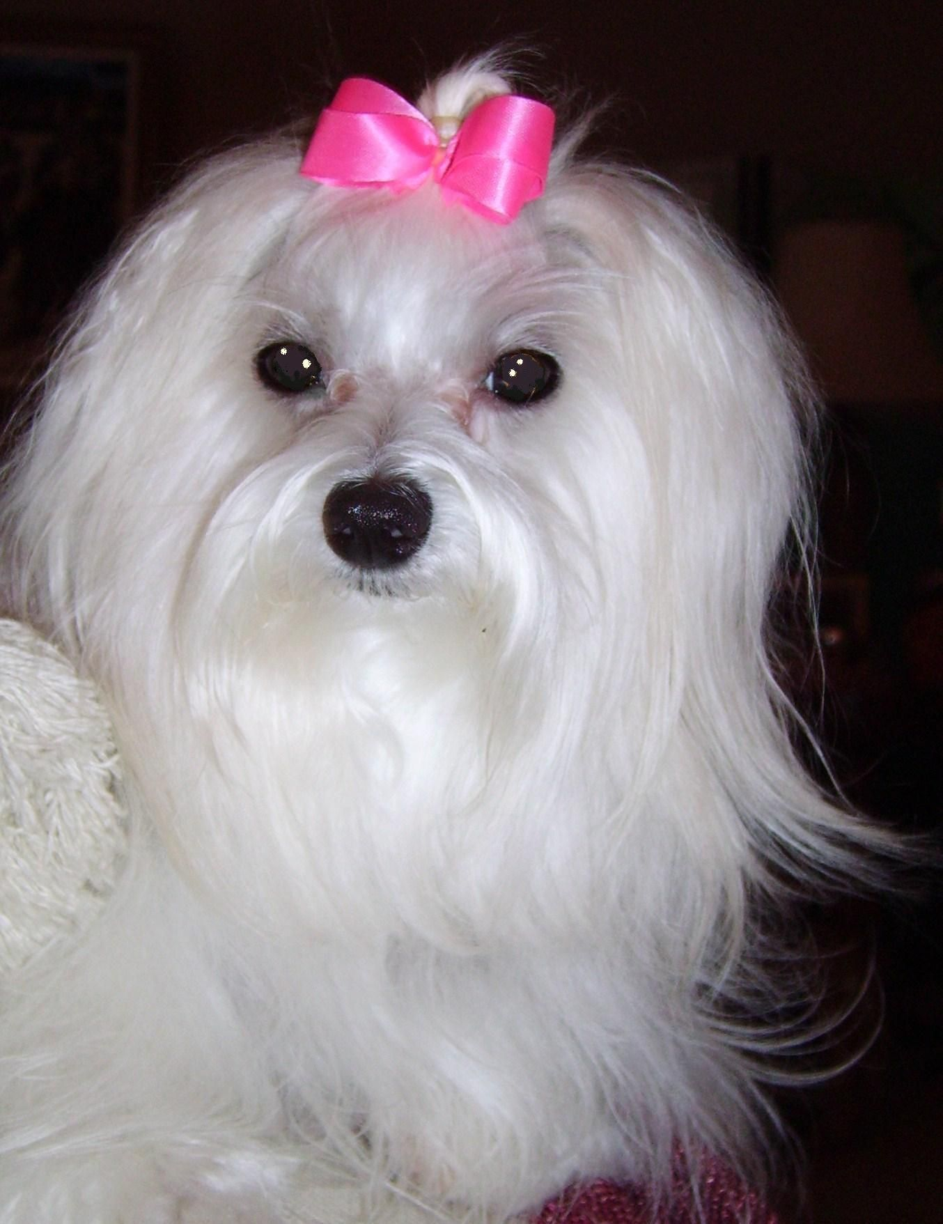 Lucy Straight From The Beauty Shop Maltese Dogs Maltese Puppy Teacup Puppies Maltese
