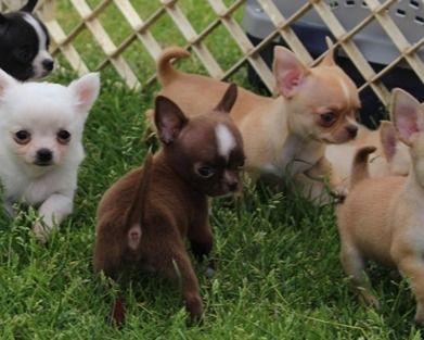 Milano Chihuahua Pronti Da Consegnare Vendita Cuccioli