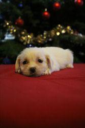 Sugar Plum Is An Adoptable Havanese Dog In Tacoma Wa Please Read