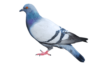 Just Say No To Backroom Drone Deals Suas News The Business Of Drones Pigeon Animals Png Images