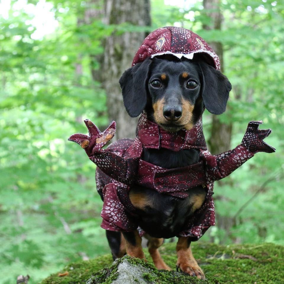 Velociwiener Dinosaur Dog Costume Cute Dachshund Costume Weenie Dogs Cute Dog Pictures