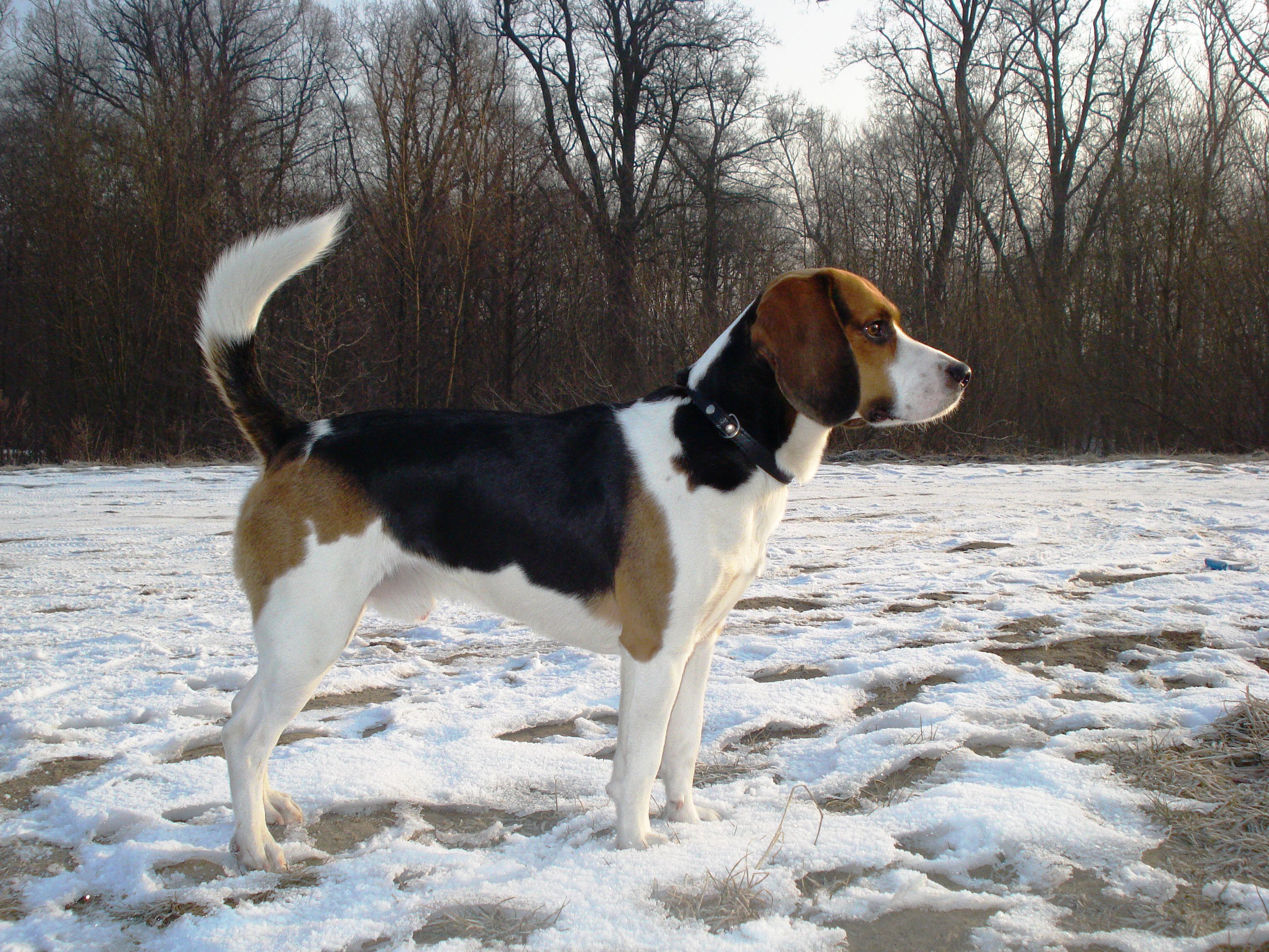 Beagles Wallpapers Tri Color Beagle Harrier In The Snow