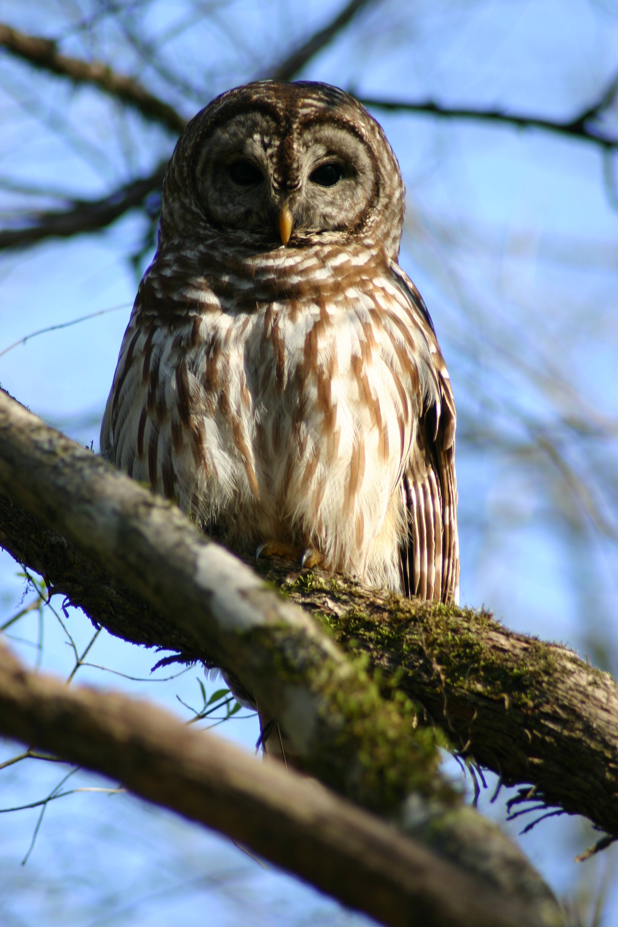 A Barred owl poses perfectly for Mary A. Roth's camera in Florida Caverns State Park.