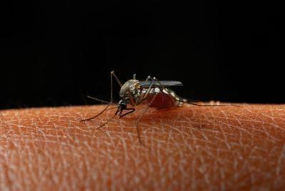 Mosquitos La Chikungunya en Estados Unidos