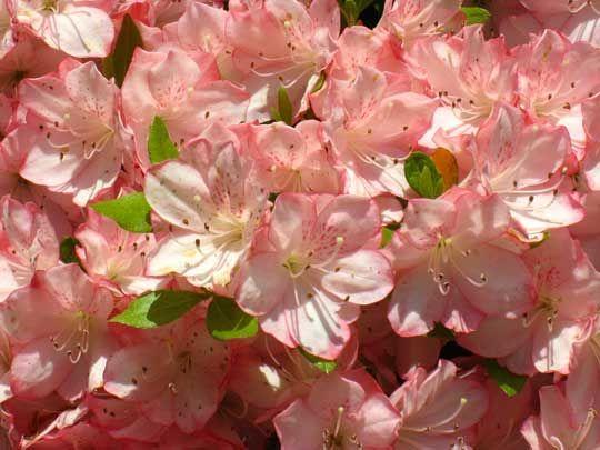 Garden Inspiration The National Arboretum Azalea Collectionwashington Dc Toxic Plants For Cats Cat Safe Plants Pet Poison