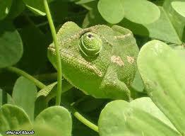 كيف ينصهر الحيوان في الطبيعة استعمال الألوان والأشكال التكي ف مع البيئة تكيف تكي ف الحيوان مع البيئة Chameleon Mimicry African Animals