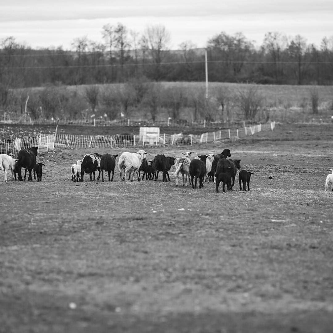 The flock with their newborn spring lambs . . . . . . . #nyfarms #farmtotable #westwindacres #artisanmeat #grassfedbeef #pastureraisedpork #grassfedlamb #meatCSA #meatsubscription #meat #healthymeats #natural #nonGMO #healthy #healthyfood #foodporn #foodgasm #instagood #delicious #GMOfree #farm #countrylife #healthysaratoga #countryliving #saratogasprings #enjoytroy #keepalbanyboring #eatlocal #farmlove #farmer @west_wind_acres @nicolenerostudio