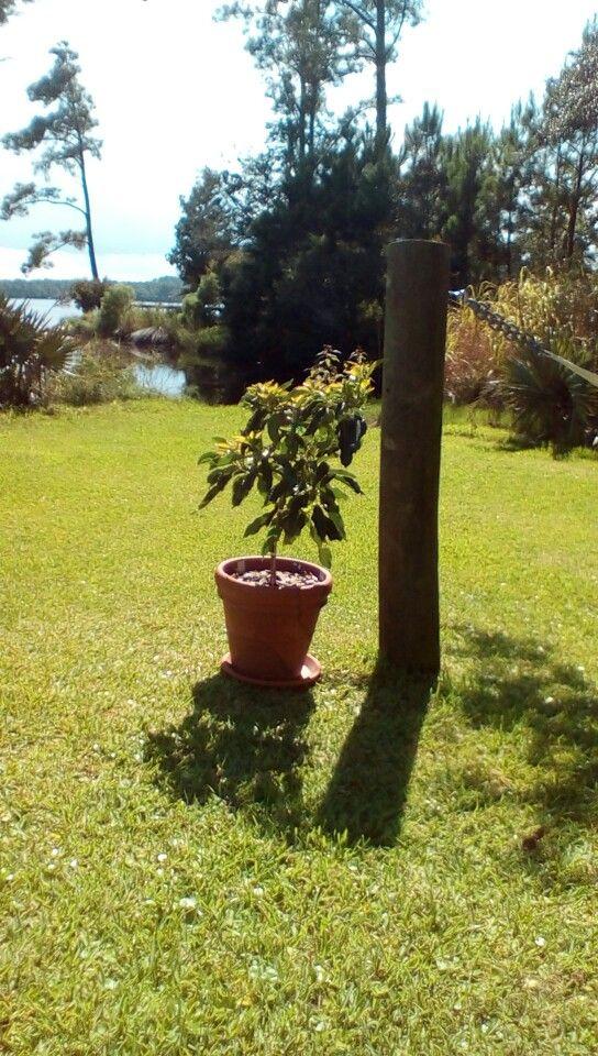 First dwarf avocado tree.