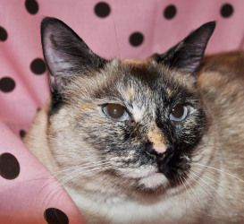 Adopt Bailey On Siamese Cats Cute Animals Cute Cats