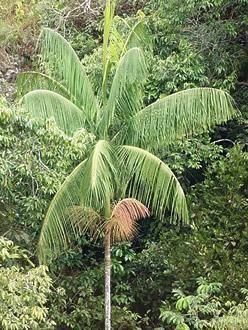 Palmito Jussara Euterpe Edulis Folhas De Plantas Palmito E