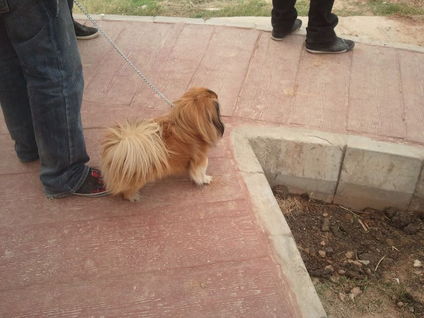 very healthy playful n beautiful dog excillent condition fOr