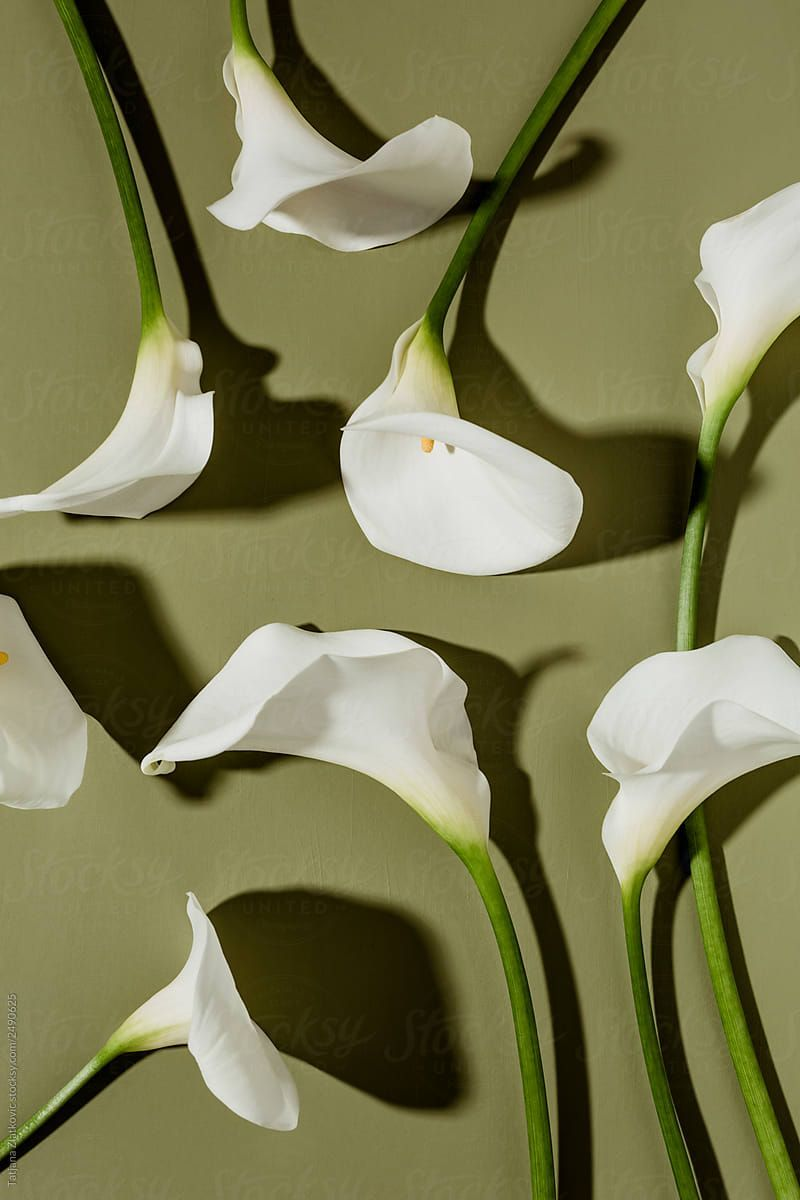 Calla Lily By Tatjana Zlatkovic Flower Calla Lily Stocksy United Stock Stockphoto Background Copyspace Wallp Lily Wallpaper Calla Lily Lily Painting