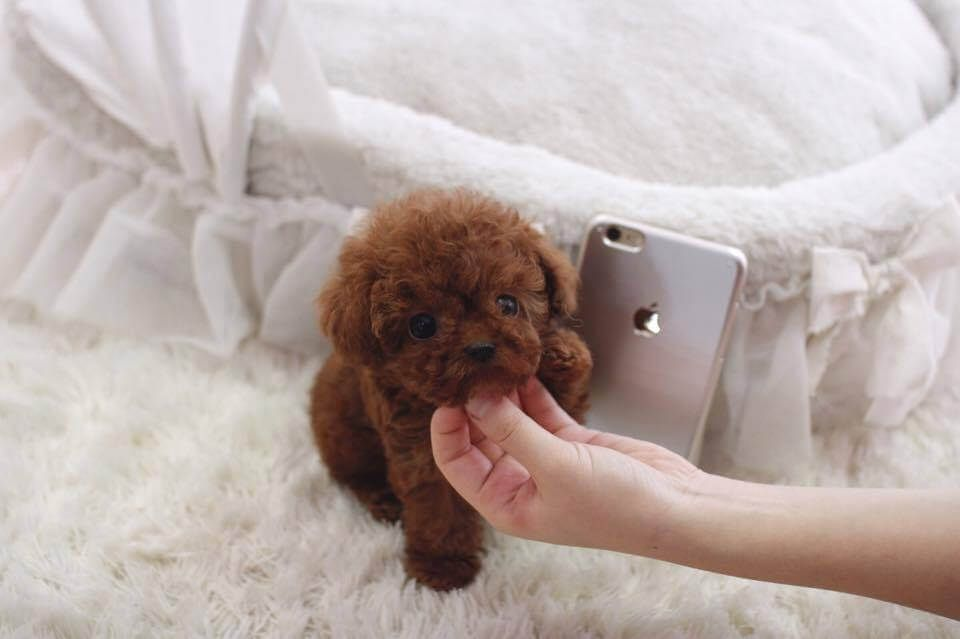 Ruby Red Micro Poodle Posh Pocket Pups Tea Cup Poodle Micro Teacup Poodle Dog Training