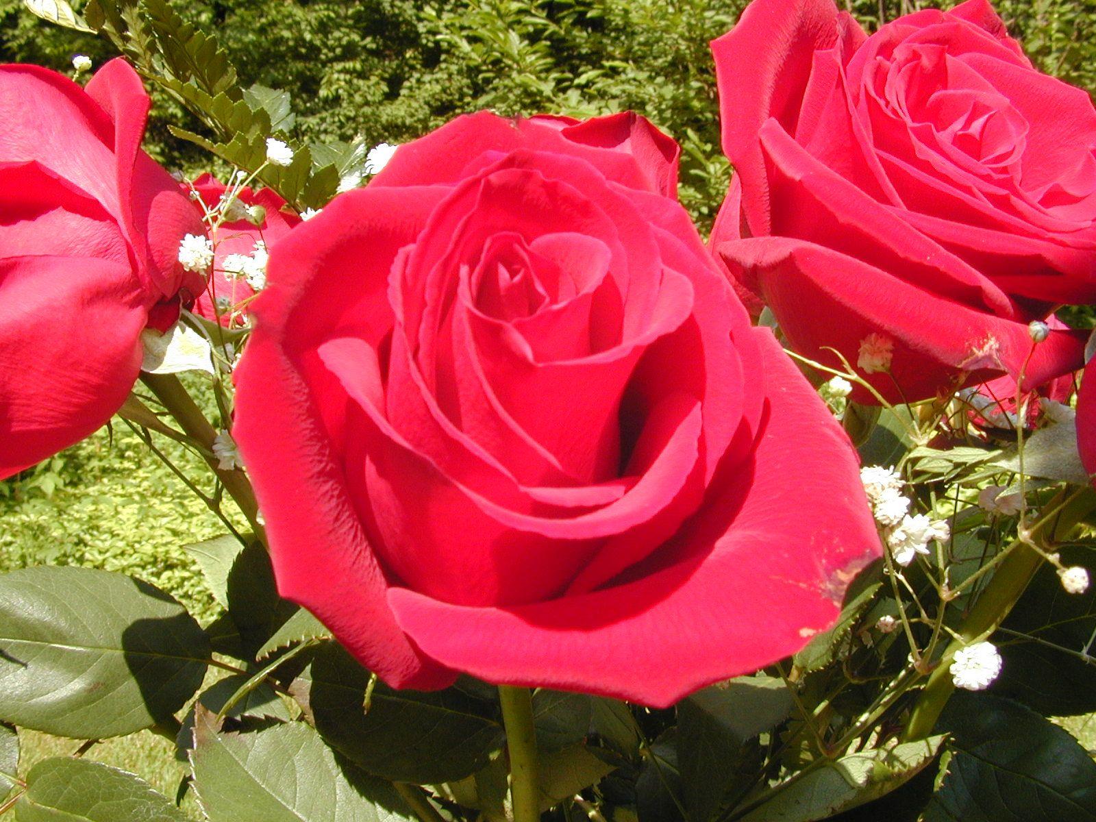 Rose Flowers Full Hd Wallpaper