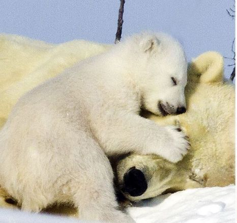 Playful polar bear family finally emerge after months in ...