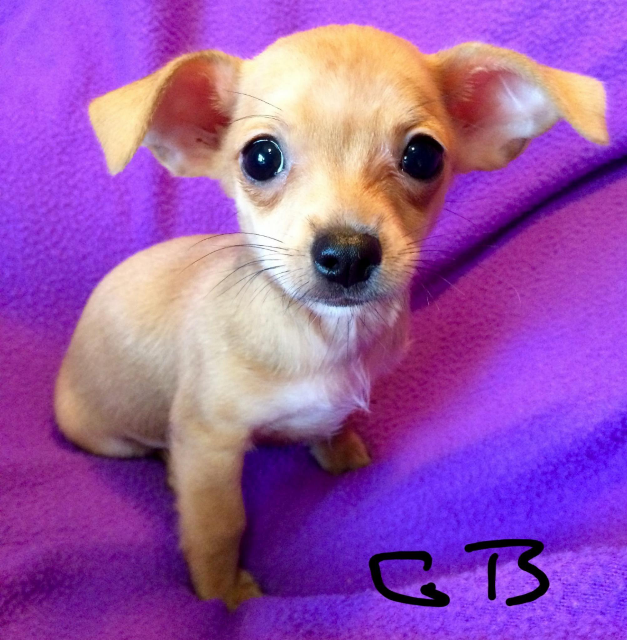 Gayweho Dogs 4 U On Dogs Dog Photos Chihuahua