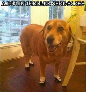 Those toddler socks that look like shoes?  This dog is rocking them.  I can't stop laughing!