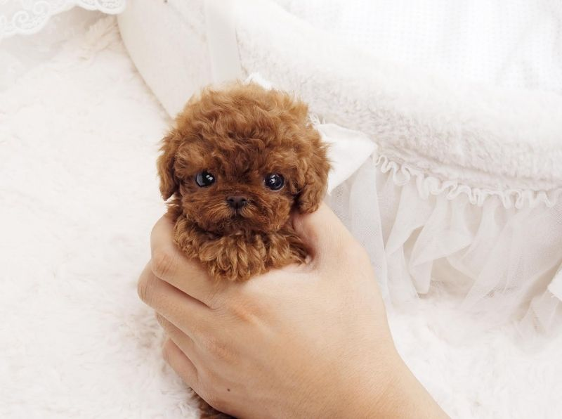 Puppy Stats Breed Micro Teacup Poodle Gender Male Color Red