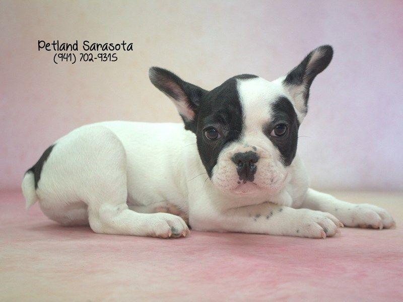 Petland Sarasota Florida Pets Boston Terrier French Bulldog