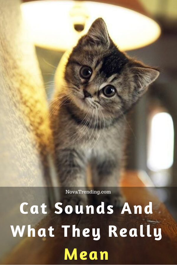 The Weird 6 Cat Sounds Meaning Cats, Crazy cats, Animals