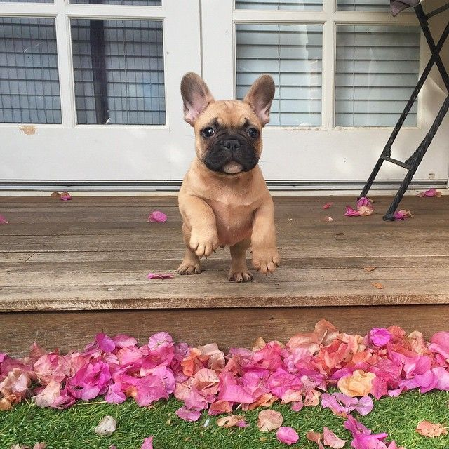 Pin By Jodie Bartlett On Puppy Love French Bulldogs French