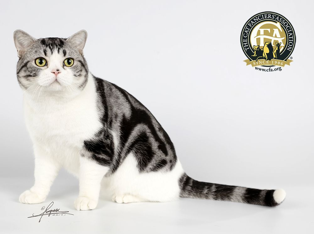 Cfa Best Cat China Gc Bwc Nw Cat Life Moonface Silver Tabby White American Shorthair M American Shorthair Cat British Shorthair Cats American Shorthair