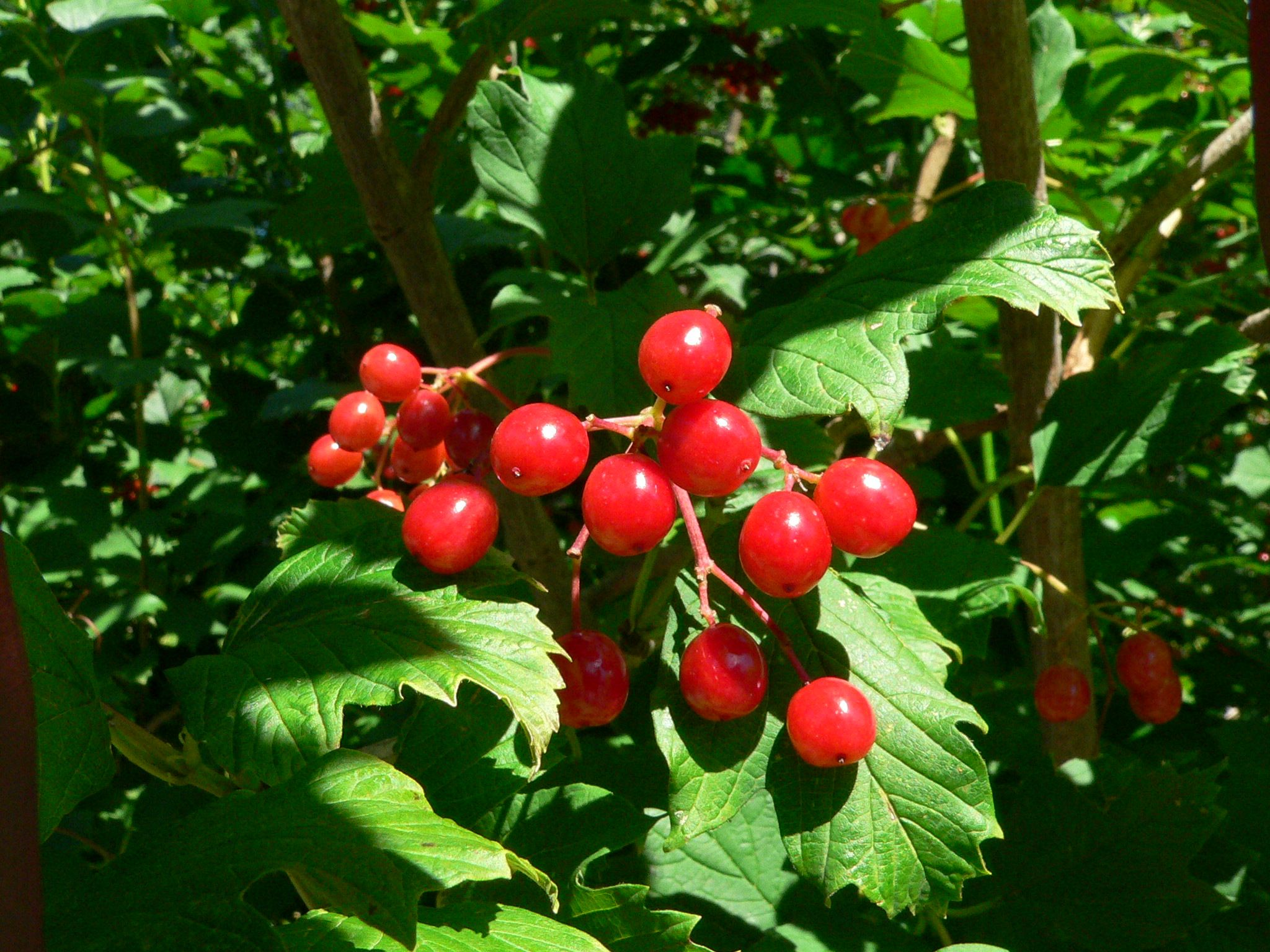Close up of bright red berries plants pinterest shrub plants