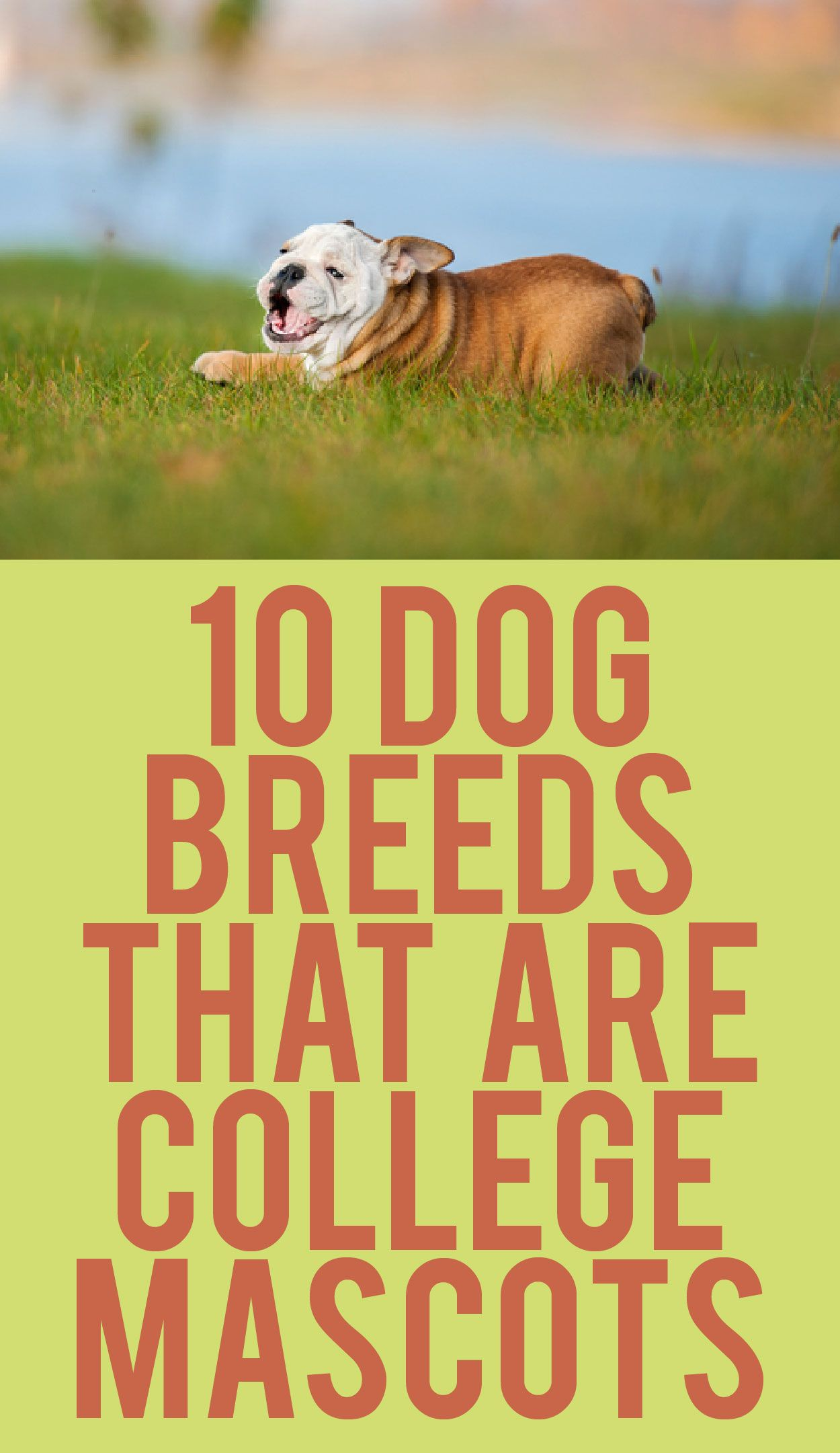 10 Dog Breeds That Are College Mascots Dog breeds, Dogs