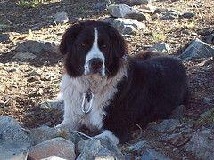 Boarder Collie Saint Benard Mix With Images Border Collie Mix Puppies White Border Collie Border Collie Mix
