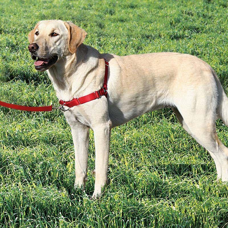Easy walk harness on a labrador retriever harnais chien