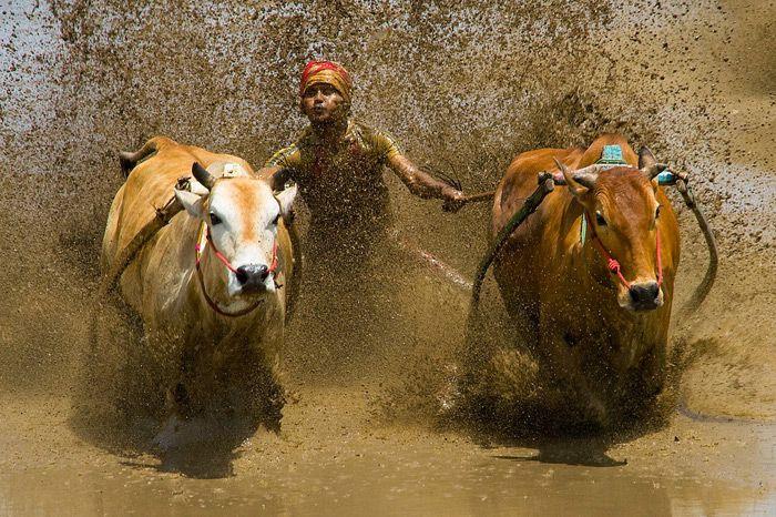 Splash of the Pacu Jawi west sumatra by mfimages.deviantart.com on @deviantART