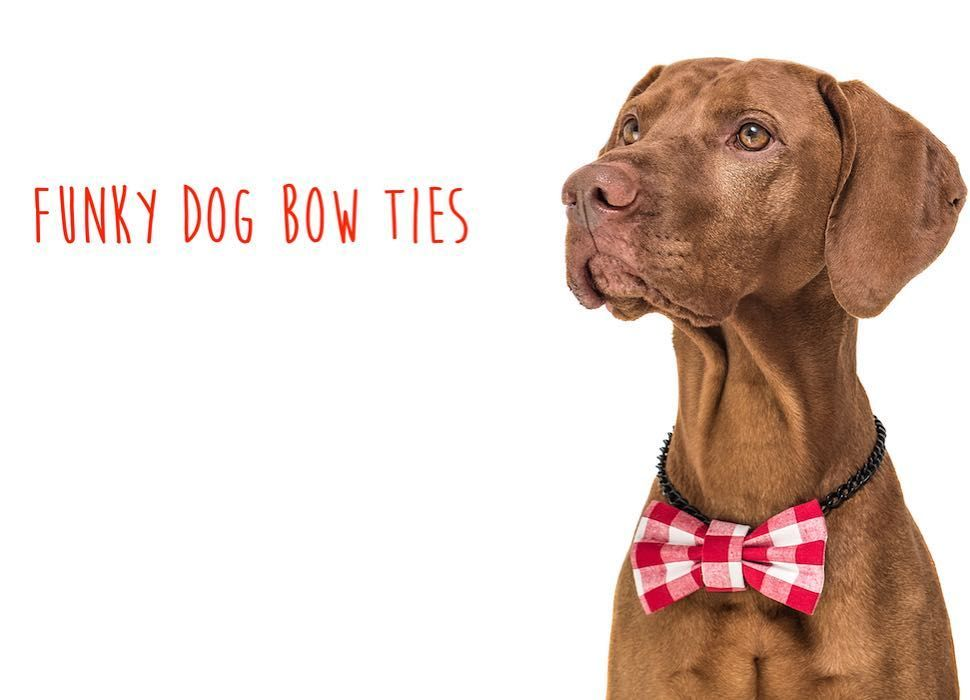 Mr. Collin  #dogbowtie #vizsla #doglover by funky_dog_bow_ties