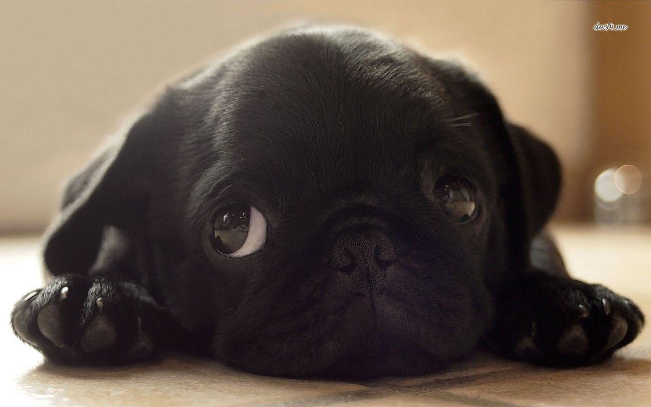 Black Pug Puppy Hd Wallpaper Black Pug Puppies Pug Dog Pictures Pug Puppies Wallpaper pug dog pet friend black