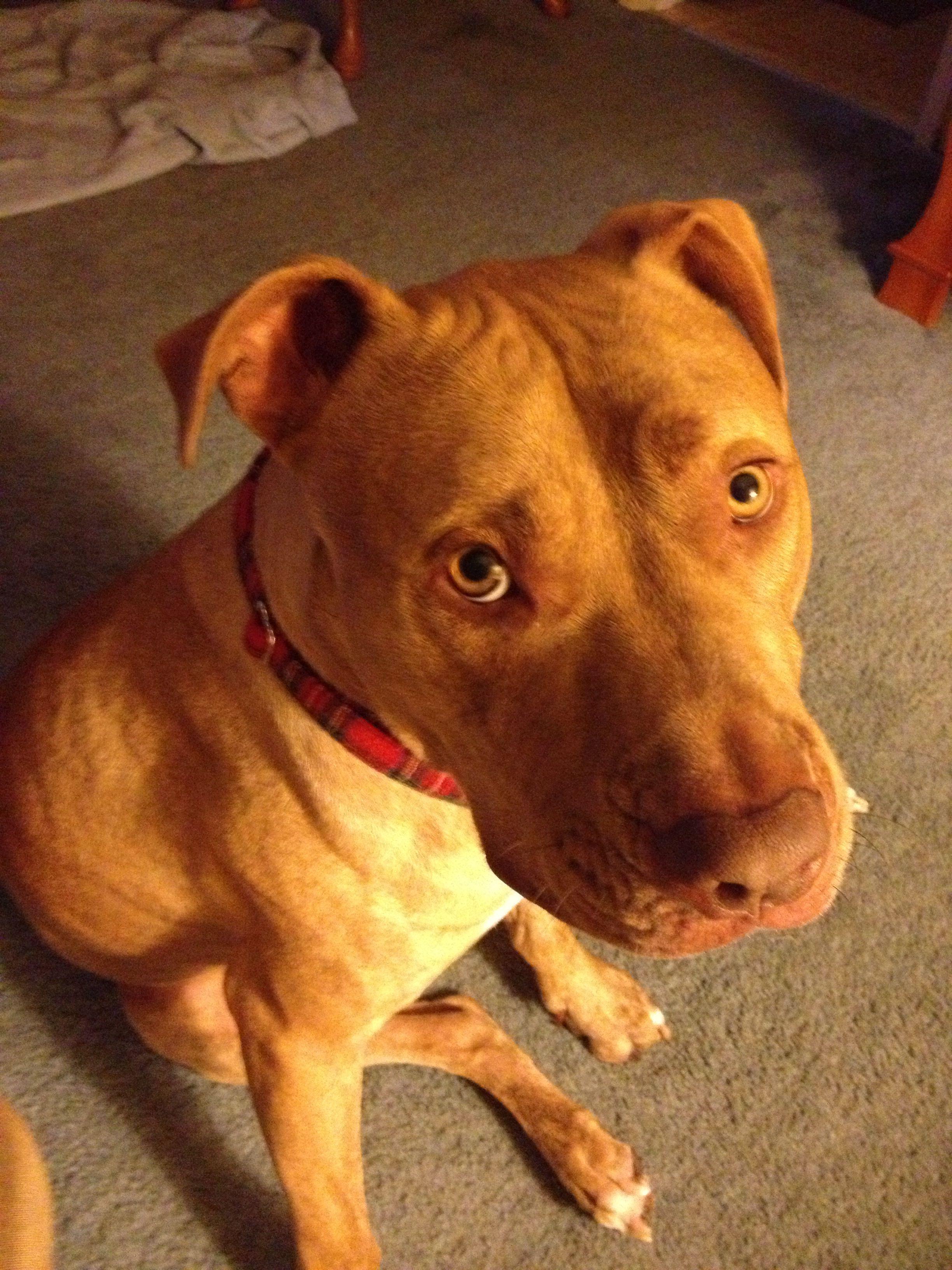 Sharpei Pitbull Mix Pitbull Mix Puppies Unique Dog Breeds Red