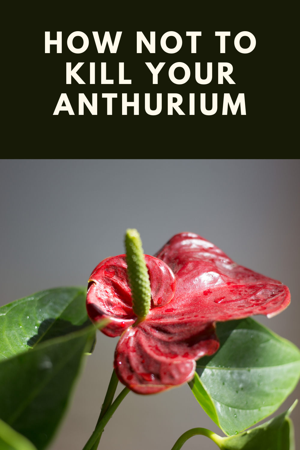 Anthurium Plant Care Watering Soil Humidity Propagation In 2020