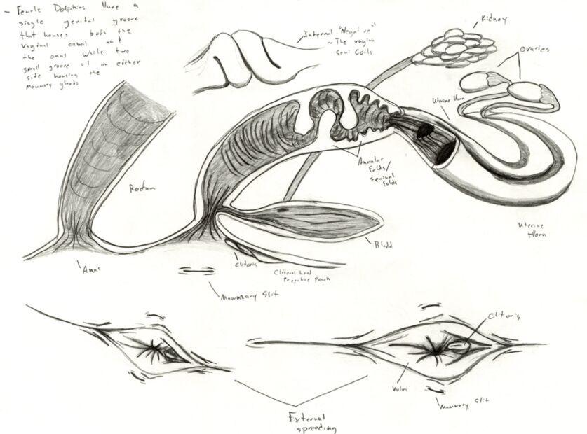 Female Dolphin Reproductive System Anatomy Anatomy Note World