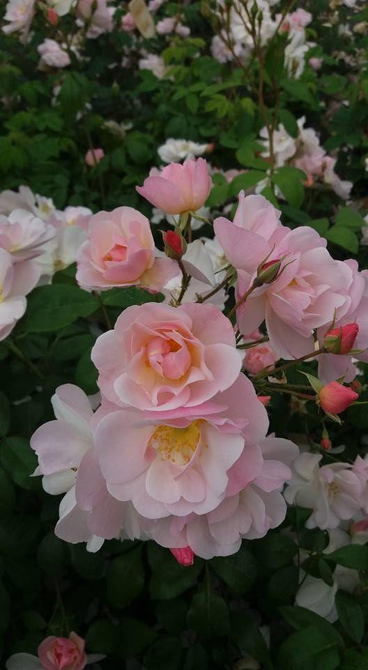 sourire d 39 orchidee un jour une rose pinterest fleurs simples rosiers anciens et rose p le. Black Bedroom Furniture Sets. Home Design Ideas